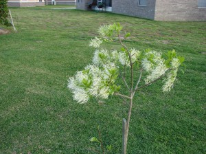 Fringe tree 2008  have two in back yard...