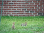 2008 rabbits in back yard evening