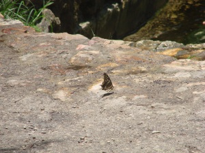 Butterfly looking for water on the rocks by the river